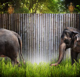 Elephants. Two elephants one walking off of frame and one walking into frame, in front of a tall bamboo fence. Concept for a zoo environment royalty free stock photos
