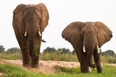 Free Elephants Stock Image - 18388991