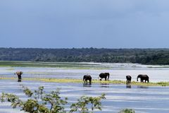 Elephants. In the Chobe river in Botswana Royalty Free Stock Photography