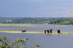Elephants. Elefhants in the Chobe river in Botswana Stock Images