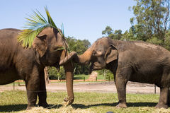 Elephants. Portrait of two elephants together Royalty Free Stock Images
