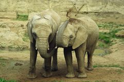 Elephants. A pair of elephants throwing dirt at each other Royalty Free Stock Image