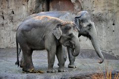 Elephants. Mother and baby elephants side by side in the Portland oregon zoo Stock Photography