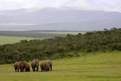 Elephants. A herd of Elephants walking towards the camera, Addo Elephant National Park Royalty Free Stock Image