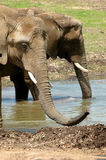 Elephants. Photo of two elephants drinking water royalty free stock photos