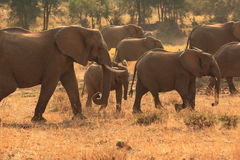 Elephants. Group of elephants in kruger park, south africa Royalty Free Stock Images
