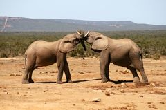 Elephants. Two Elephants in love in Addo Nationaal park, in South Africa Stock Photo