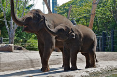 Elephants. Full body portrait of smiling Asian baby elephant with mother in a zoo, raising their trunks in unison Royalty Free Stock Photo