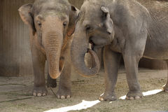 Elephants. Walk in the warm summer day royalty free stock image