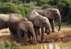 Elephants. Drinking on a pool in kruger park south adfrica royalty free stock images