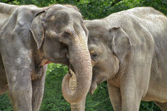 Elephants. Elephant couple Royalty Free Stock Photo