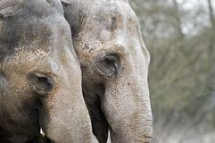 Elephants. An old couple of elephants Stock Images