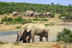 Elephants. At a waterhole. Addo Elephant National Park, South Africa royalty free stock photography