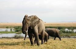 Elephants. In the plains of Amboseli National Park, Kenya Royalty Free Stock Images