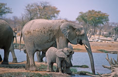 Elephants. African elephant with her calf  at Etosha waterhole Stock Images