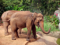 Elephants. Royalty Free Stock Photos