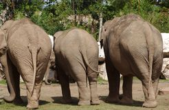 Elephants. Three elephants with there backs facing to me Stock Image