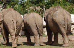 Elephants. Three elephants with there backs facing to me stock image