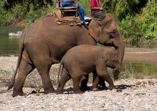 Elephants Stock Photography