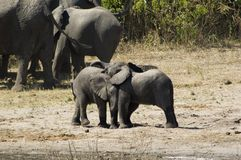 Elephants. Baby elephants playing Royalty Free Stock Photos