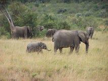 Elephants. Herd of elephants, africa stock image