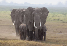 Elephants 9816 Royalty Free Stock Image