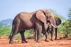 Elephants among acacia tress , Kenya Royalty Free Stock Image