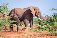 Elephants among acacia tress , Kenya Royalty Free Stock Photos