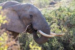 Elephants in Addo Elephant National Park in Port Elizabeth - South Africa. Portrait of elephant eating in Addo Elephant National Park in Port Elizabeth - South stock image