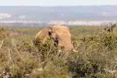 Elephants in Addo Elephant National Park in Port Elizabeth - South Africa. Portrait of elephant hiding in bush in Addo Elephant National Park in Port Elizabeth royalty free stock image