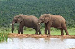 Elephants, Addo Elephant National park, South Africa Royalty Free Stock Photography