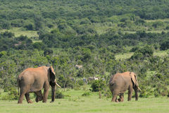 Elephants, Addo Elephant National park, South Africa Stock Image