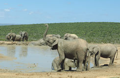 Elephants at Addo Elephant Park Royalty Free Stock Photography