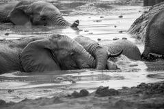 Elephants at Addo Elephant Park, South Africa Stock Image