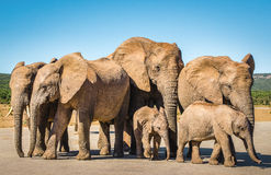 Elephants, Addo elephants park, South Africa. Elephants herd, Addo elephants park near Port Elizabeth, South Africa safari animals Stock Images
