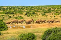 Elephants in Addo NP. Group of adults and small elephants walking in Addo Elephant National Park near the pool in summer season. Addo NP is located in Eastern stock photo