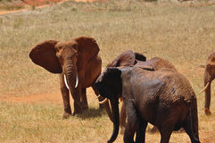 Elephants Africa Stock Image