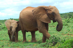 Elephants in Africa Stock Photo