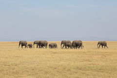 Elephants in Africa Stock Photos