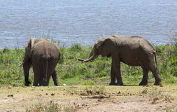 Elephants in Africa Stock Photography