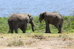 Elephants in Africa Royalty Free Stock Images