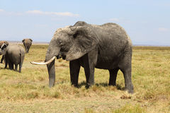 Elephants in Africa Royalty Free Stock Photography