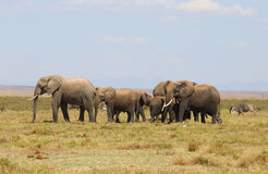 Elephants in Africa Royalty Free Stock Photo
