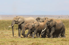 Elephants in Africa Royalty Free Stock Photos