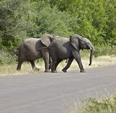 Elephants in the African bush Royalty Free Stock Photography