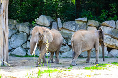 Elephants. African elephants running outdoor in a sunny day royalty free stock images