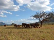 Elephants in African savanna. Tsavo National Park - Kenya 2007 Royalty Free Stock Image