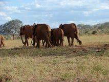 Elephants in African savanna. Tsavo National Park - Kenya 2007 Royalty Free Stock Photo