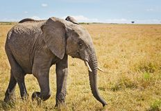 Elephants in the African savannah royalty free stock image