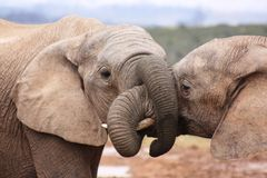 Elephants all tied up. These elephants were having a drink near a waterhole Royalty Free Stock Image